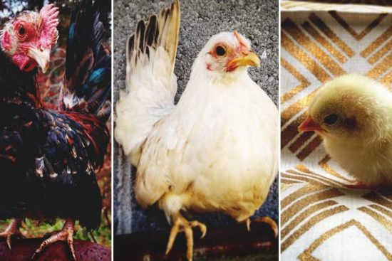 About Serama Chickens: Tiny Chickens with Huge Personalities