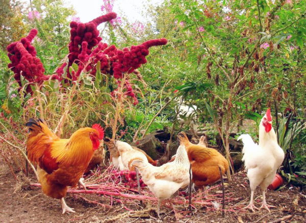 Chickens foraging around growing amaranth plants