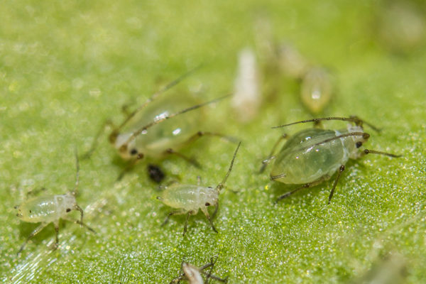 Aphids moving across a plant leaf