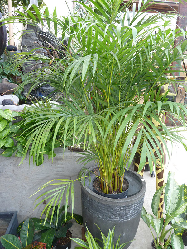 A potted areca palm one of many cat safe plants