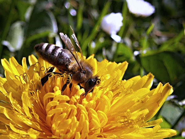 Growing dandelion with a bee on it