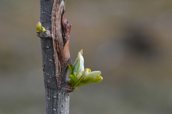 A bud graft
