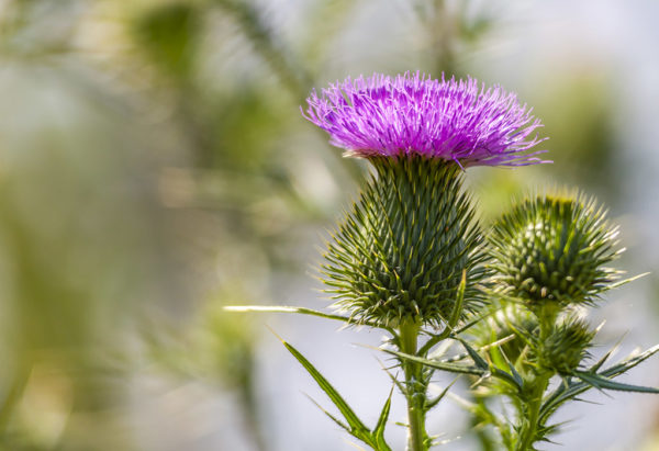 Bull thistle edible weed blossom