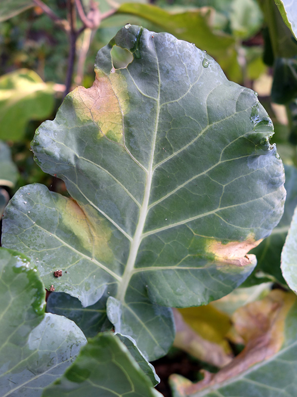 Black rot on a cauliflower leaf