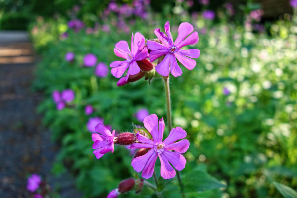 Purple cranesbill flowers this is a flower that attracts bees