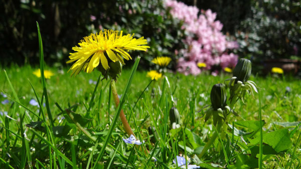 Growing dandelions in grass