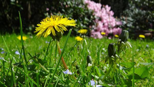 Growing dandelions in grass