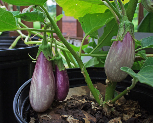 Growing eggplant in a container