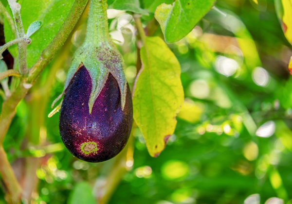 Growing eggplant on the vine