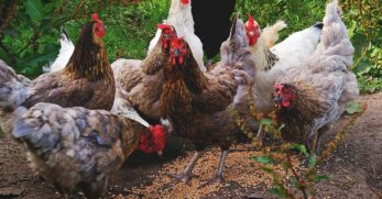 Chicken Breeds That Lay Blue, Green, Pink, White, and Other