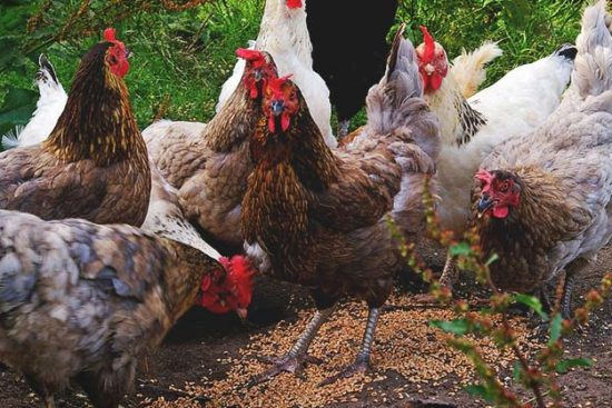 Feeding Chickens: How-To, Common Problems, Cutting Costs, What NOT to Feed, and More