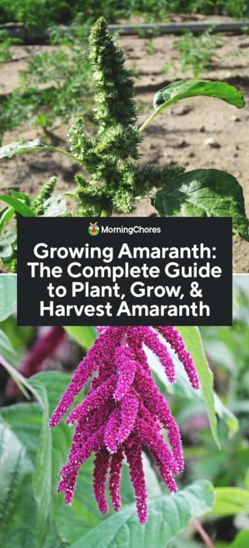 Growing Amaranth: The Complete Guide to Plant, Grow