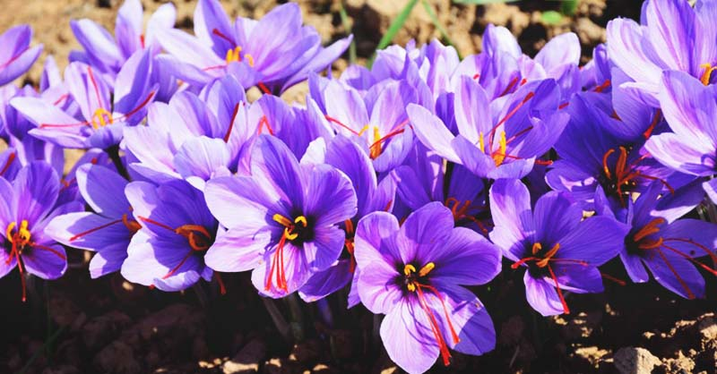 Growing Saffron A Complete Guide To Planting And Taking Care Of