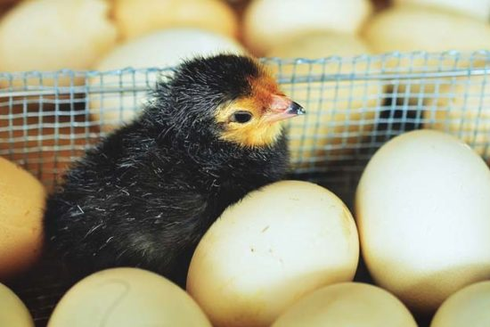 How to Hatch Chicken Eggs and Take Care of the Chicks After
