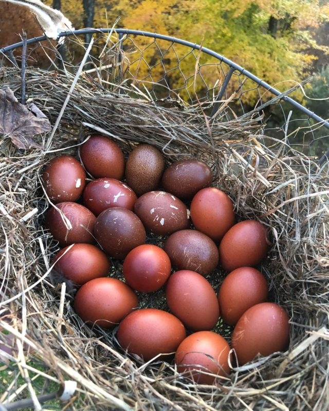 About Marans Chickens French Chocolate Colored Egg Layers