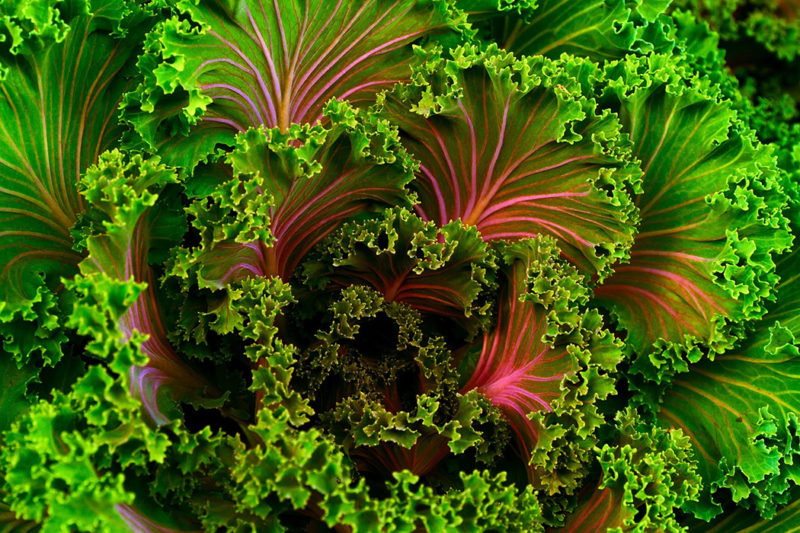 Colorful kale leaves