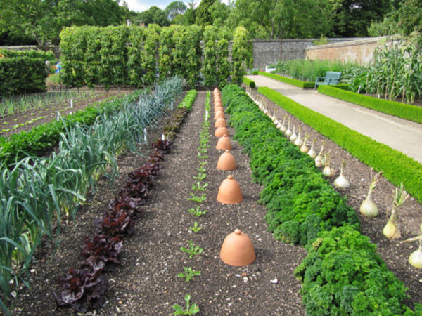Growing leeks alongside companion plants