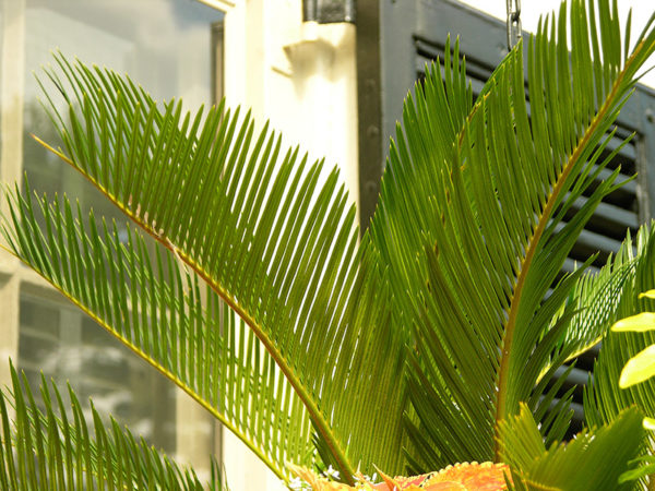 The fronds of a lady palm one of many cat safe plants