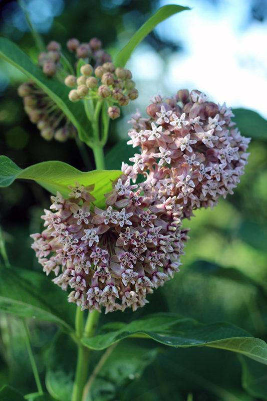 Common milkweed blossoms