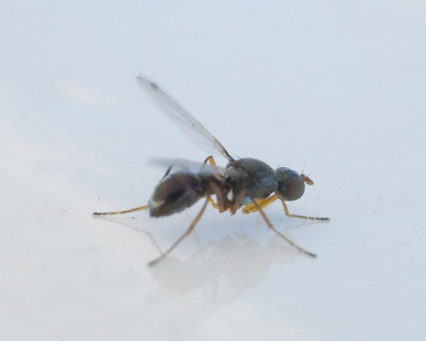 Mushroom Scavenger fly