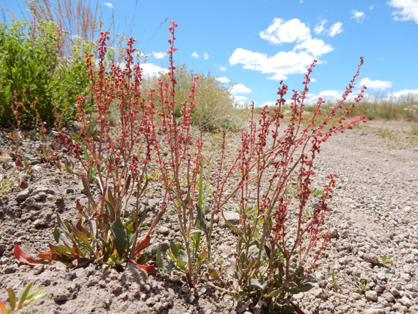 Sheep sorrel plants