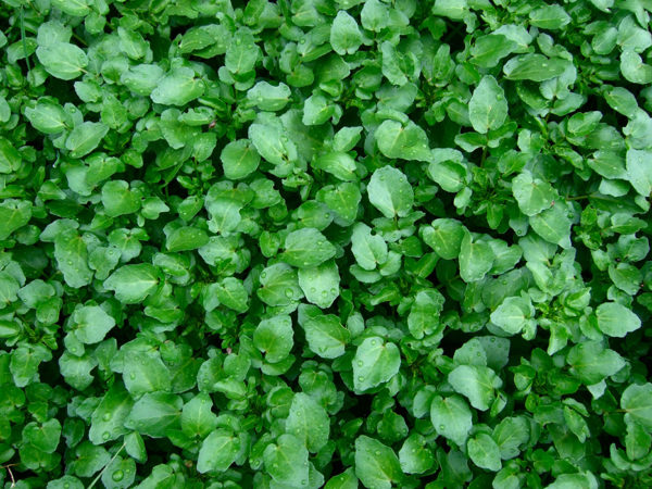 A cluster of watercress