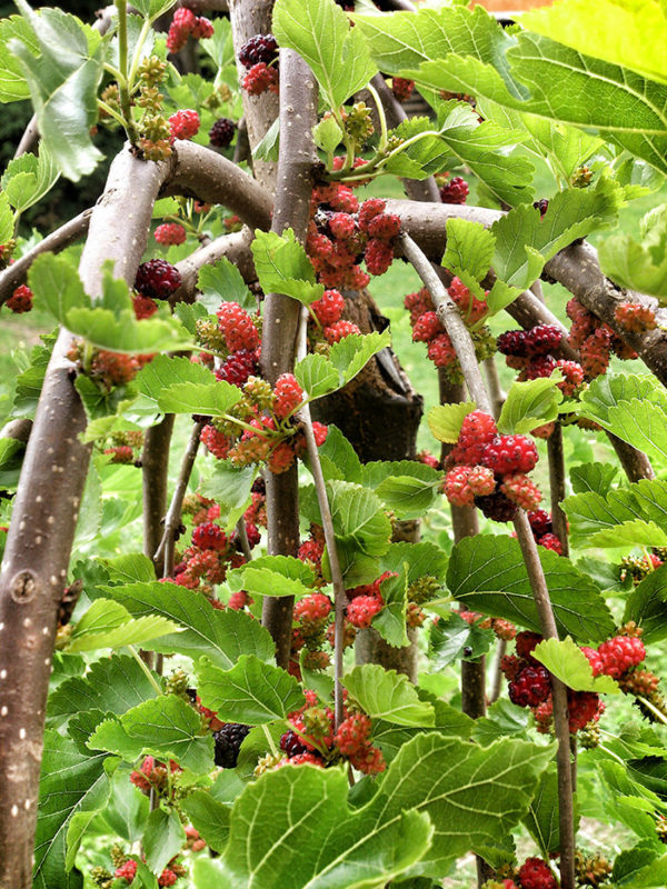 Weeping mulberry
