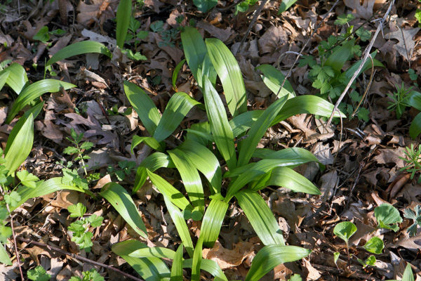 The leaves of the edible wild plant ramps