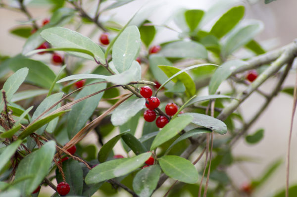 Yaupon holly edible wild plant with red berries