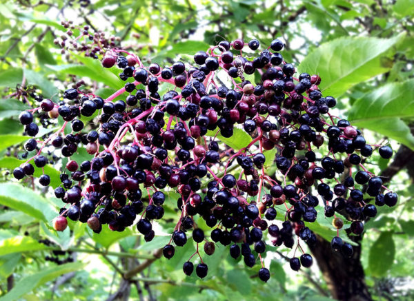 Berries from the edible wild plant elderberry