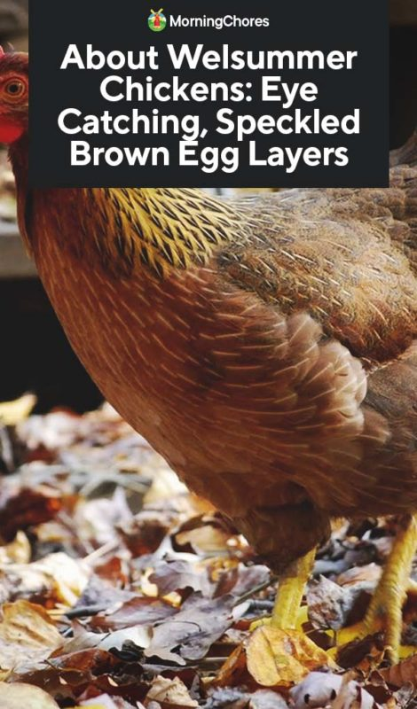 About Welsummer Chickens Eye Catching Speckled Brown Egg