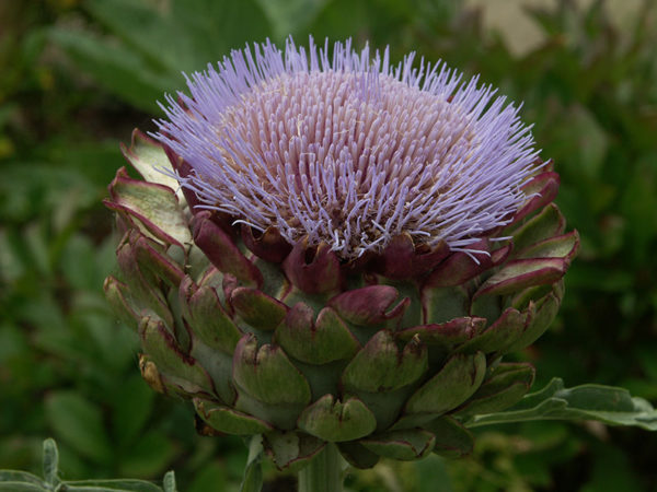 A growing artichoke as it blossoms