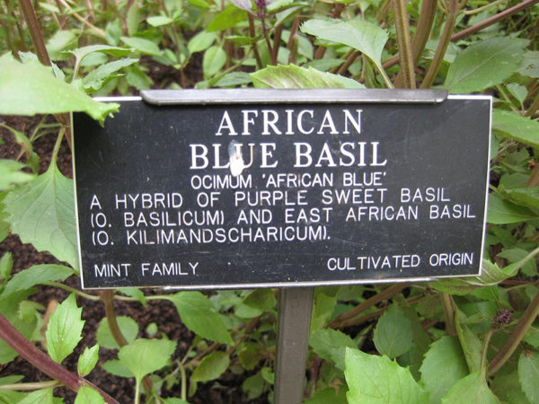 African Blue Basil plant with a label