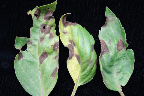 Basil leaves with leaf spot