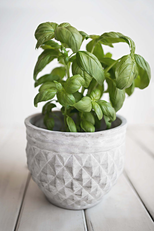 Growing basil in a container