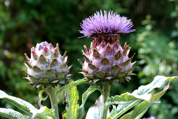 Cardoon blossoms up close
