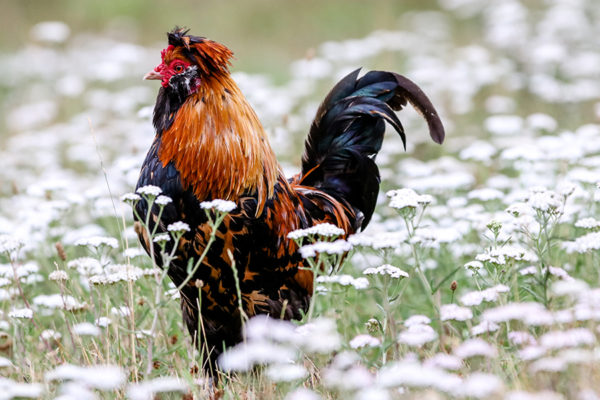 A chicken in a field which can be a valuable addition to a permaculture system