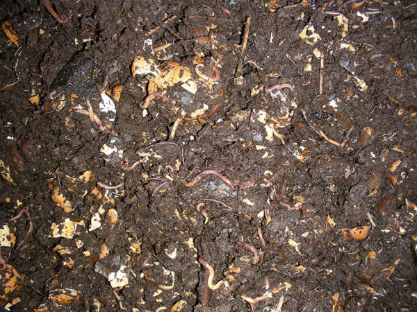 Worms in a compost tea recipe base