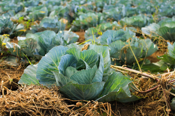 Cabbage in a garden surrounded by straw mulch