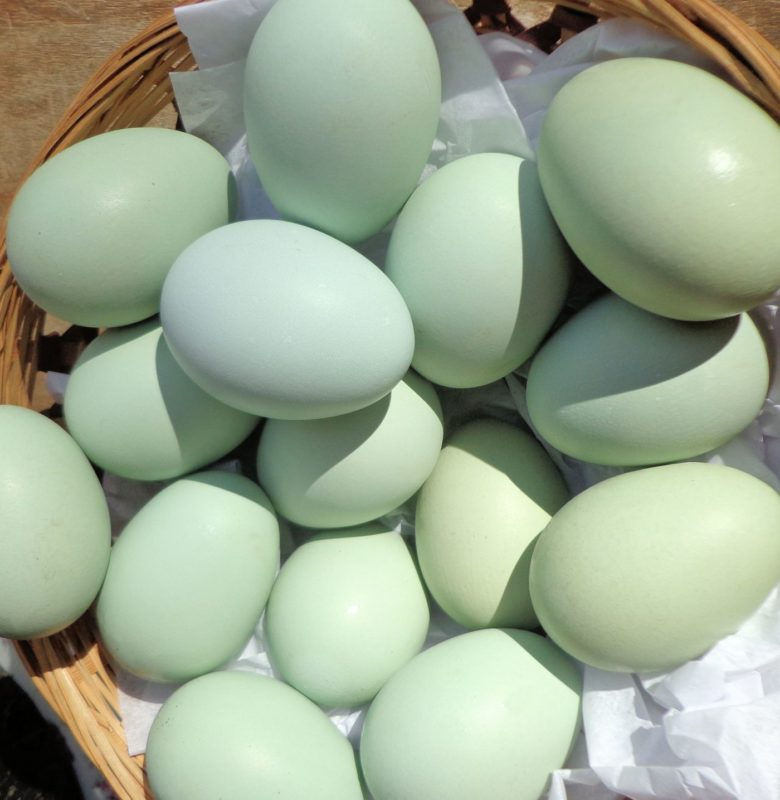 About Easter Egger Chickens Friendly Colorful Egg Layers