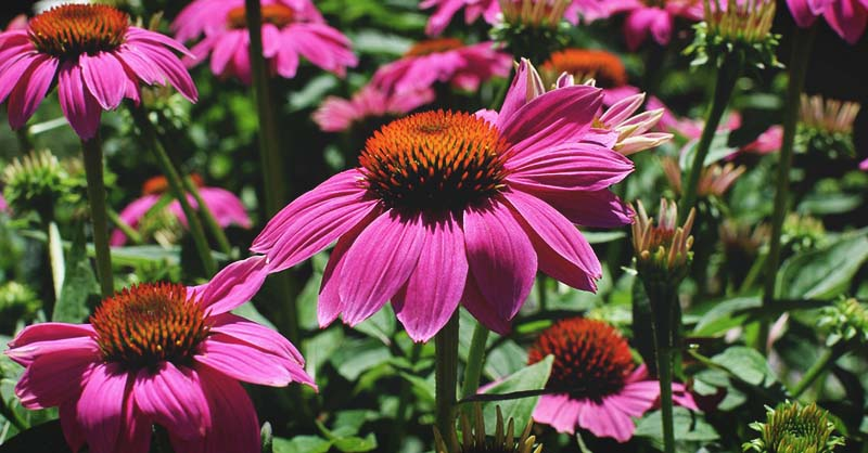 Growing Echinacea The Complete Guide To Plant Grow And Harvest