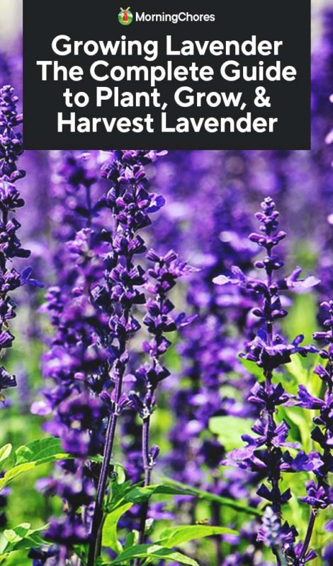 Growing Lavender The Complete Guide To Plant Grow Harvest