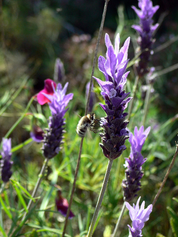 Lavandula dentata growing in a garden