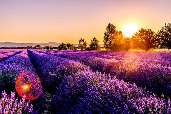 Lavender growing in a field