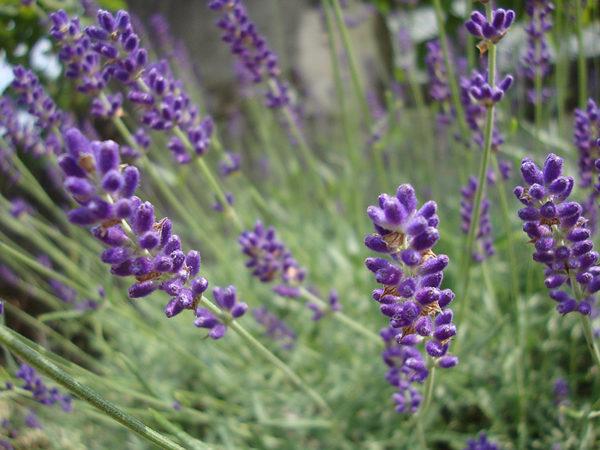 Lavender hybrid