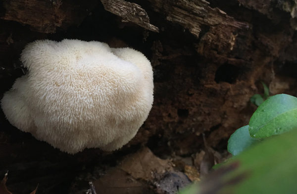 Lion's mane mushrooms growing on wood