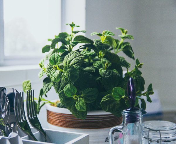 Growing mint indoors in a jar
