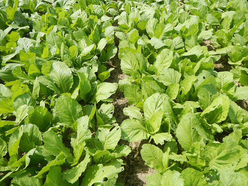 Growing mustard greens in a field