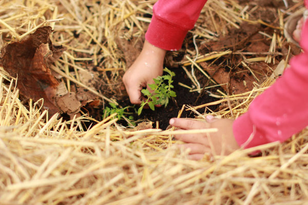 Planting in straw mulch