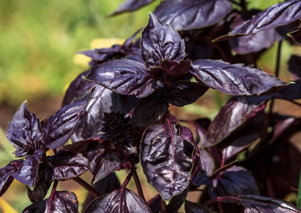 Purple basil growing in a garden